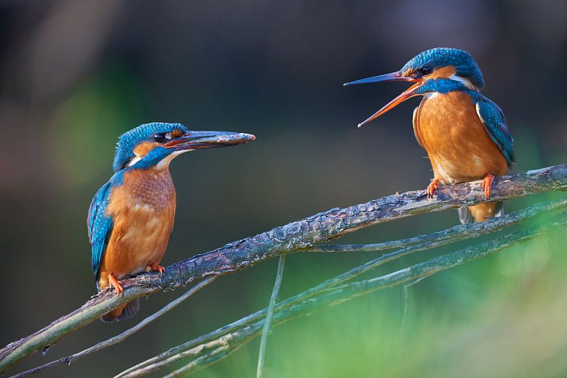 IJsvogel - Liefde aan de waterkant van IJsvogels.nl - Corné van Oosterhout