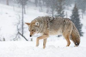 Kojote ( Canis latrans ), im Winter bei heftigem Schneefall , wildlife, Yellowstone NP,  USA.