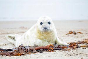 Baby Grijze Zeehond (Halichoerus grypus) relaxing op het strand van