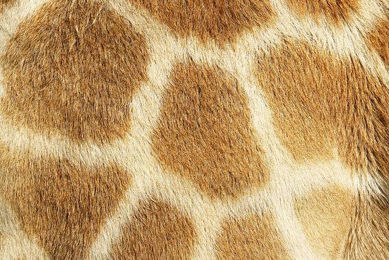 Giraffe van Jan van Reij