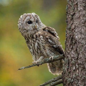 Owl... Tawny Owl * Strix aluco * van wunderbare Erde