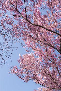 Roze kersenbloesems in Japan van Mickéle Godderis