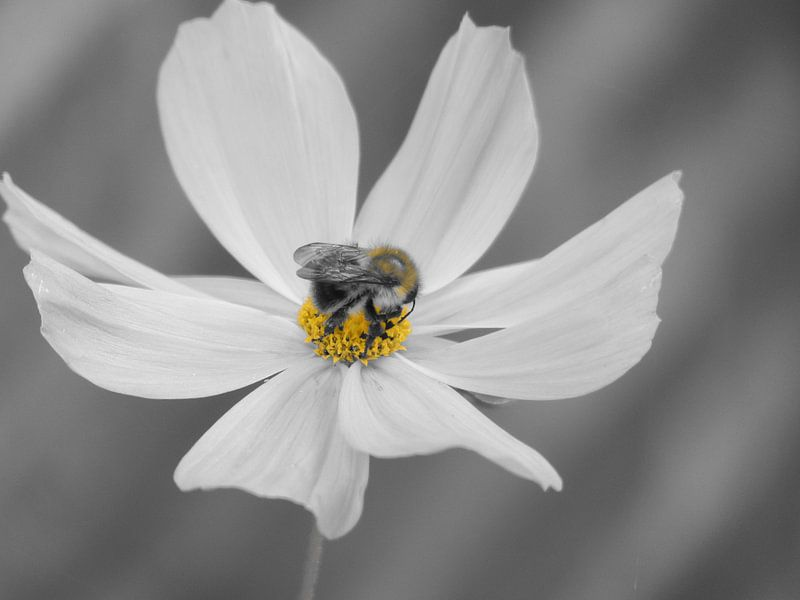 Cosmea bloem en hommel Zwart Wit van bird bee flower and tree