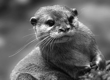 Porträt Otter in Schwarz-Weiß von Marjolein van Middelkoop