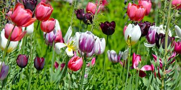 Tulpen von Violetta Honkisz
