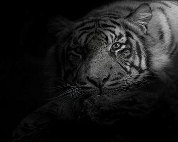 Misteriöser Tiger, der in Sie verknallt ist von Patrick van Bakkum
