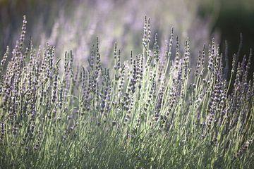 Lavendel in Zuid Afrika van