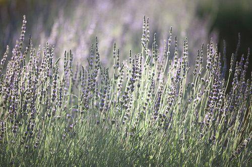 Lavendel in Zuid Afrika von Stephan Van Reisen