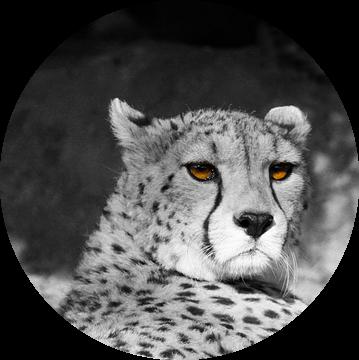 Cat Eyes van Ursula Di Chito