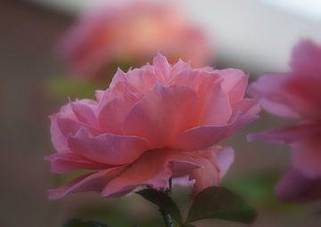 Rose sur Ineke Klaassen