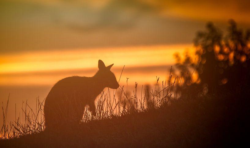 kangaroo tijdens zonsondergang van Martijn van Dellen