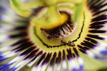 Passibloem / Passiflora van Tineke Roosen