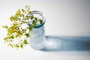 Vase en verre avec des fleurs du manteau de la dame (Alchemilla) et une ombre bleue sur un fond blan