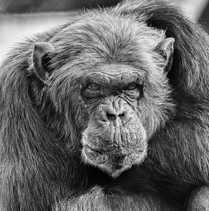 Chimpansee van Renate Peppenster