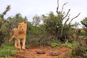 Afrikanischer Löwe in natürlicher Umgebung von Bobsphotography