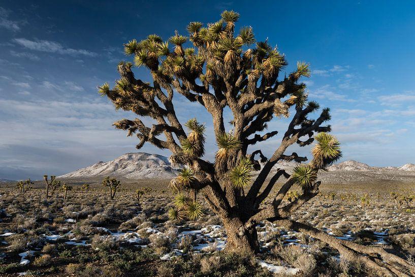 Portret van een zogeheten Joshua Tree (Yucca brevifolia) groeiend in Death Valley National Park in d van Nature in Stock