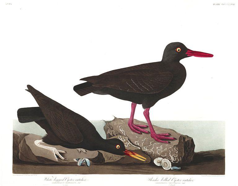 Noord-Amerikaanse Zwarte Scholekster van Birds of America