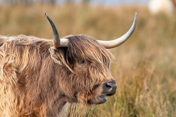 Highlander écossais, boeuf. sur Gert Hilbink