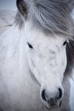 Isländisches Pferd im Schnee von Elisa Hanssen
