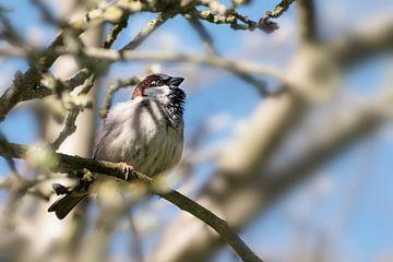 Huismus mannetje (Passer domesticus), klein vogeltje van de familie Passeridae zittend in een boom,  van Maren Winter