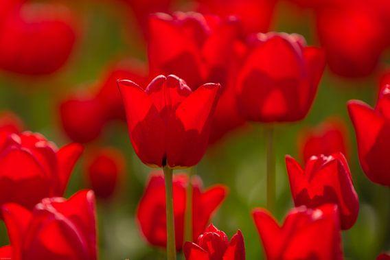 Tulip Red van Klaas Boonstra