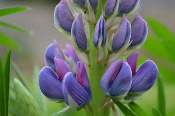 Close-up blauwe bloem van lupine van Ingrid Bargeman