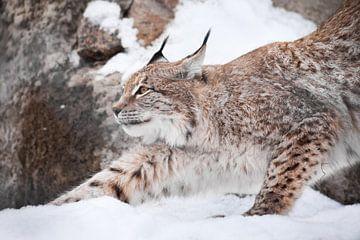 Een mooie lynx in de sneeuw strekt zich sierlijk uit en toont zijn harmonie en kracht. Lynxen in de  van Michael Semenov