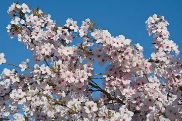 Bloeiende zacht roze bloesem in de lente met een blauwe lucht van JM de Jong-Jansen