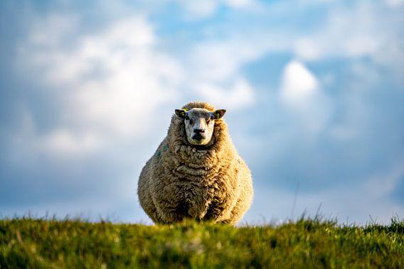 Moeder schaap Texel