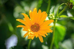 Glebe Blume van