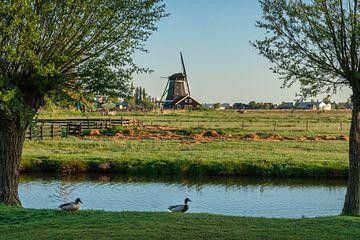 Oude windmolen op de Zaanse Schans met eenden die voorbij lopen in de voorgrond van Anges van der Logt