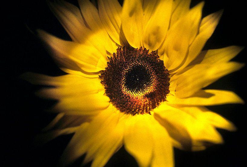 SUNflower van bob brunschot