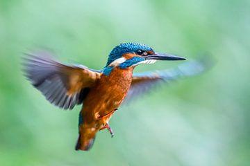 Kingfisher von Linda Raaphorst