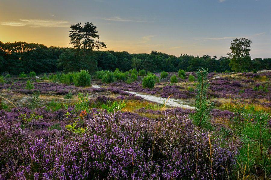 Bloeiende heide tijdens zonsondergang van Jaco Verheul