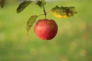 Frischer Apfel von