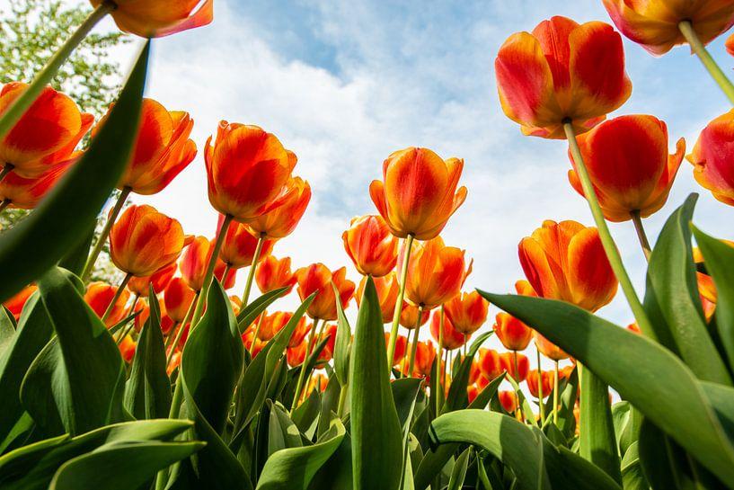 Oranje Tulpen tegen de Hemel van Brian Morgan