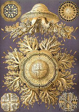 Discomedusae, Ernst Haeckel