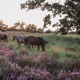 Wilde paarden in natuurgebied Kampina van Carla Van Iersel