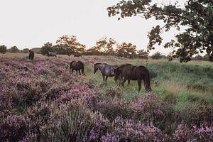 Chevaux sauvages dans la réserve naturelle de Kampina