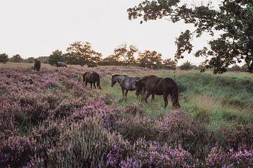 Wilde paarden in natuurgebied Kampina