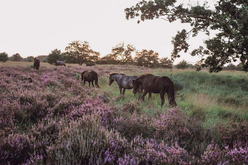 Chevaux sauvages dans la réserve naturelle de Kampina sur Carla Van Iersel