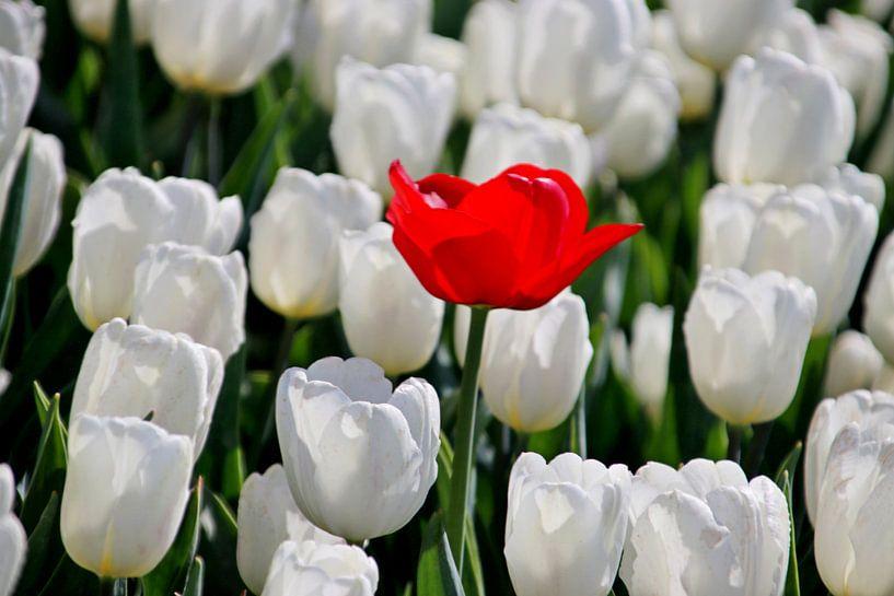 eenzame rode tulp in veld witte tulpen in de zon in Holland van André Muller