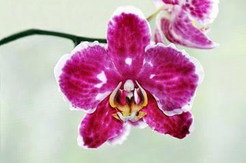 Pink Orchids van Ioana Hraball