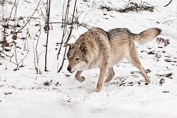 se tenir debout, prêt à sauter. Femelle loup gris dans la neige, bel animal fort en hiver. sur Michael Semenov