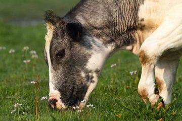 Grazende koe von Menno Schaefer