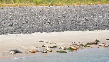 Robben in der Sonne von Piet Kooistra