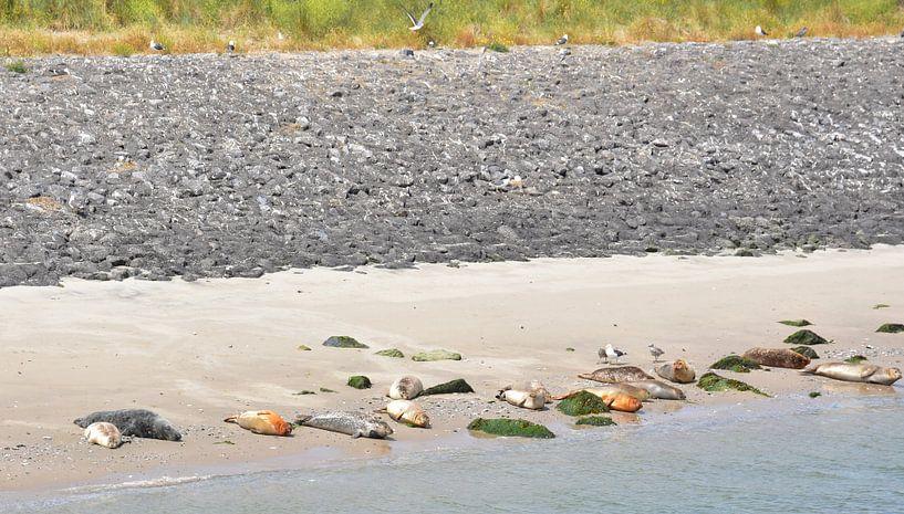 Zeehonden in de zon van Piet Kooistra