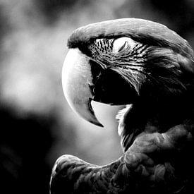 Ara in zwart-wit van