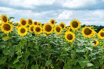 Zonnebloemen in Frankrijk van Ineke Huizing