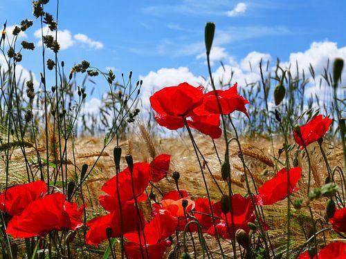 Poppies in the summer 1 van